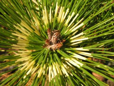 Pinus (Pines)