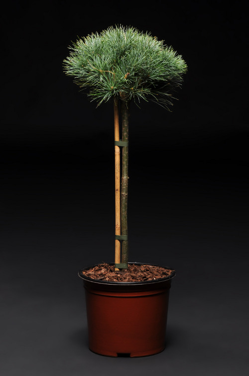 Pinus strobus Sea Urchin