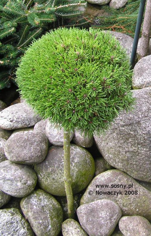 Pinus uncinata Jezek